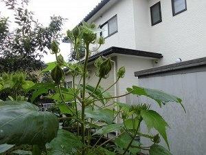 ミニミニ家庭菜園&ミニガーデニング 芙蓉の蕾/どこまでもアマチュア