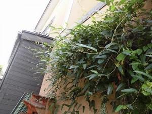 ミニミニ家庭菜園&ミニガーデニング ハーデンベルギア/どこまでもアマチュア