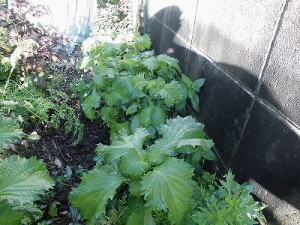 ミニミニ家庭菜園&ミニガーデニング 勢力拡大する青紫蘇/どこまでもアマチュア