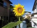 ミニミニ家庭菜園&ミニガーデニング/どこまでもアマチュア ひまわりの花