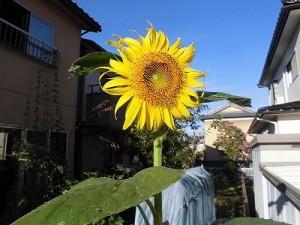 ミニミニ家庭菜園&ミニガーデニング ひまわりの花/どこまでもアマチュア