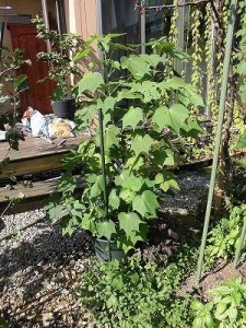 ミニミニ家庭菜園&ミニガーデニング 芙蓉/どこまでもアマチュア