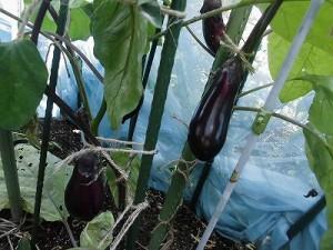 ミニミニ家庭菜園&ミニガーデニング Lesson8_2015 なす/どこまでもアマチュア