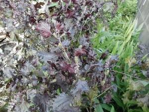 ミニミニ家庭菜園&ミニガーデニング Lesson8_2015 シソ/どこまでもアマチュア