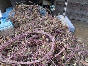 ミニミニ家庭菜園&ミニガーデニング Lesson8_2015 アサガオ/どこまでもアマチュア