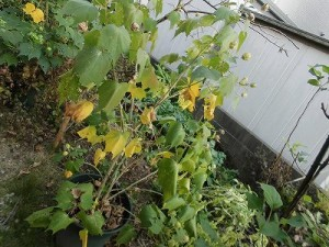 ミニミニ家庭菜園&ミニガーデニング Lesson8_2015 芙蓉/どこまでもアマチュア