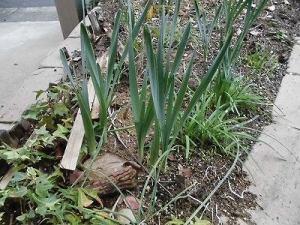 ミニミニ家庭菜園&ミニガーデニング 玄関先の花壇の水仙/どこまでもアマチュア