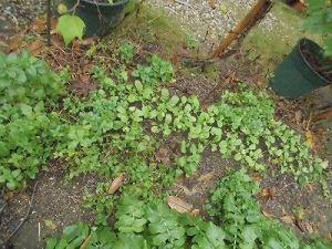 ミニミニ家庭菜園&ミニガーデニング 成長してきた大根の苗/どこまでもアマチュア
