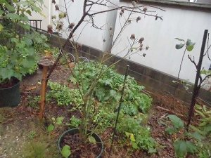 ミニミニ家庭菜園&ミニガーデニング 枯れた芙蓉/どこまでもアマチュア