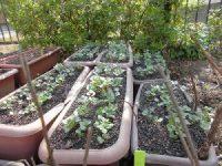 家庭菜園のつもりで庭いじり2016 ラディッシュの芽/どこまでもアマチュア