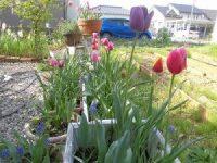 家庭菜園のつもりで庭いじり2016 チューリップの花/どこまでもアマチュア