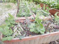 家庭菜園のつもりで庭いじり2016 成長してきたつるなしえんどう/どこまでもアマチュア