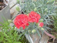 家庭菜園のつもりで庭いじり2016 カーネーションの花/どこまでもアマチュア