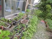 家庭菜園のつもりで庭いじり2016 あさがおにひもをつるした/どこまでもアマチュア