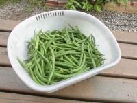家庭菜園のつもりで庭いじり2016 本日収穫したつるなしいんげん/どこまでもアマチュア