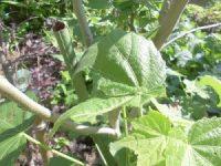 家庭菜園のつもりで庭いじり2016 芙蓉の葉に付いた虫/どこまでもアマチュア