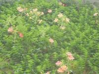 家庭菜園のつもりで庭いじり2016 ノウゼンカズラの花/どこまでもアマチュア