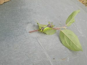 家庭菜園のつもりで庭いじり2016 イラガの幼虫/どこまでもアマチュア