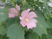 家庭菜園のつもりで庭いじり2016 芙蓉の花/どこまでもアマチュア