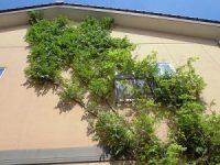 家庭菜園のつもりで庭いじり2016 葉が茂ってきたノウゼンカズラ/どこまでもアマチュア