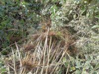 セイタカアワダチソウの根