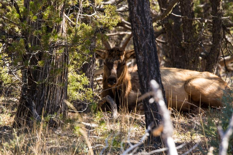Front view of an elk.