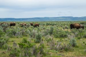 A closer look at one of the bison, with several bison in the distance.