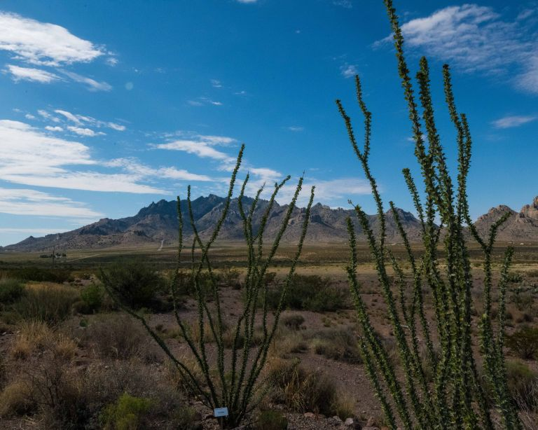 Some lovely ocotillo cactus in the native garden by the Visitor Center.