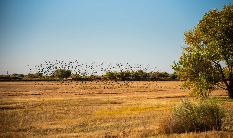 Sandhill cranes in the background as a flock of redwinged blackbirds fly around.