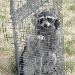 Raccon trapped by Wildlife officer