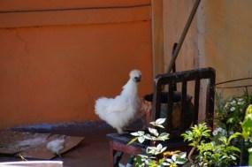 Seltsames Huhn auf dem Nachbarbalkon unseres Hotels in Alausi
