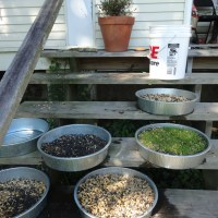 How to Sprout Grains for Animal Feed