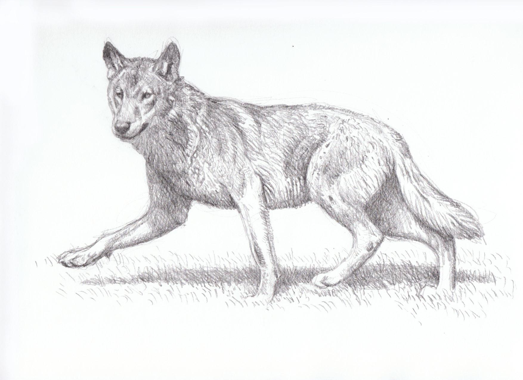 Keep Running Wolf