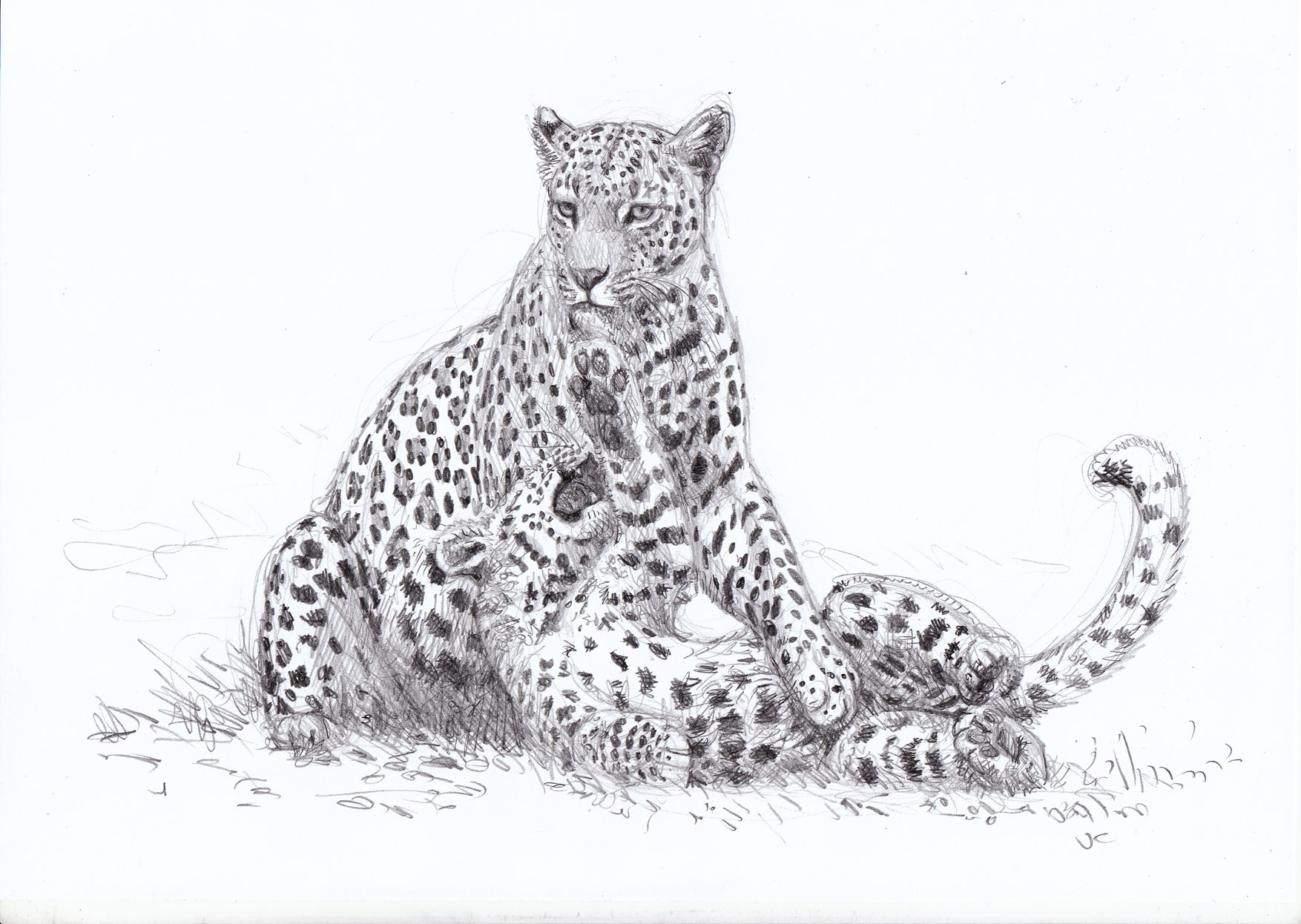 A Mother S Patience Tested Sketching Botswana S Leopards