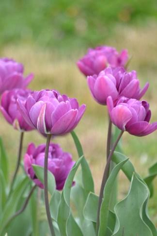 tulip-03