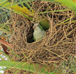 green monk parakeet in Sitges