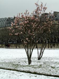 Magnolia trees covered in snow- Tuilerie Garden in Paris