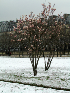 Magnolia trees covered in snow- Tuilerie Garden in Paris