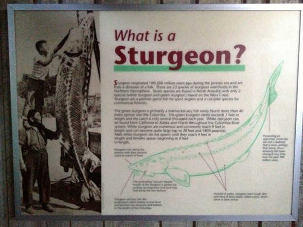 sturgeon info