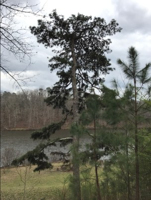 southern yellow pine is the state tree of alabama dn arkansas and