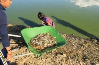 Recogiendo los peces muertos (Foto Chaski Klandestinx)
