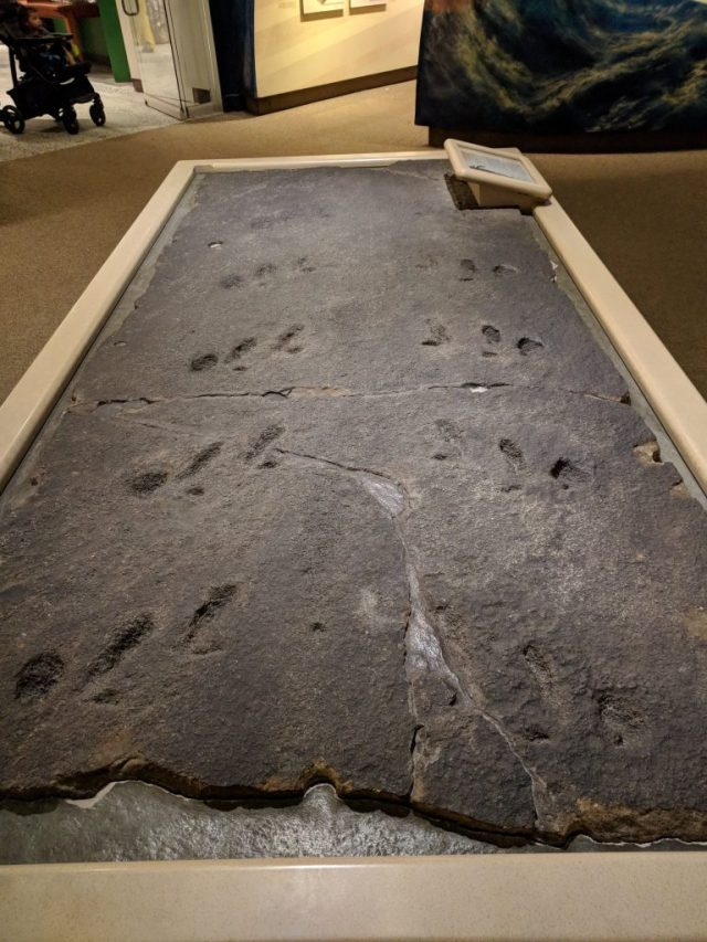 Euypterid trackway fossil from the Carnegie Museum of Natural History.