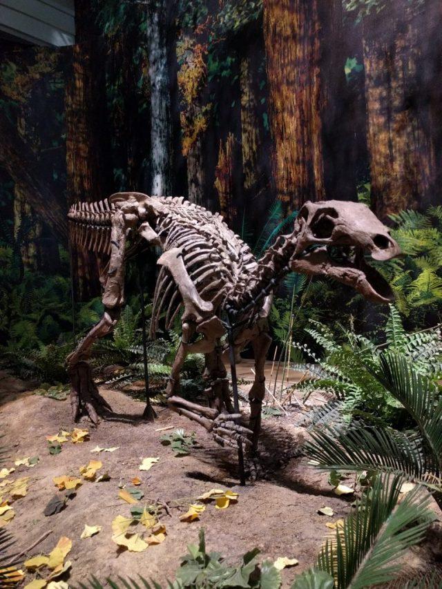 Camptosaurus mount at the Carnegie Museum of Natural History.