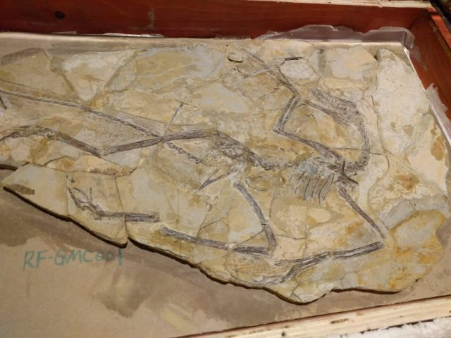 An Anchiornis fossil, on loan from the Geological Museum of China as of January 2018.