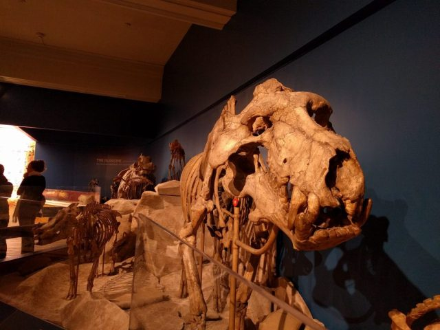 Daeodon at the Carnegie Museum of Natural History