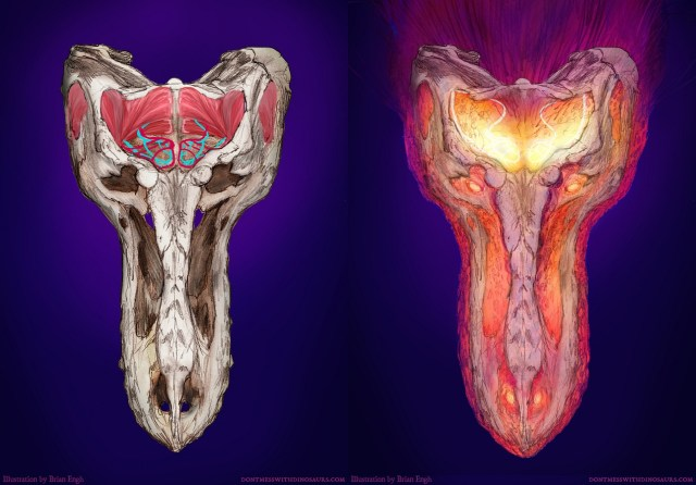 T. rex skull/thermal dorsal view by Brian Engh
