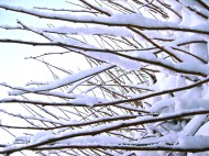 Snowy Branches.