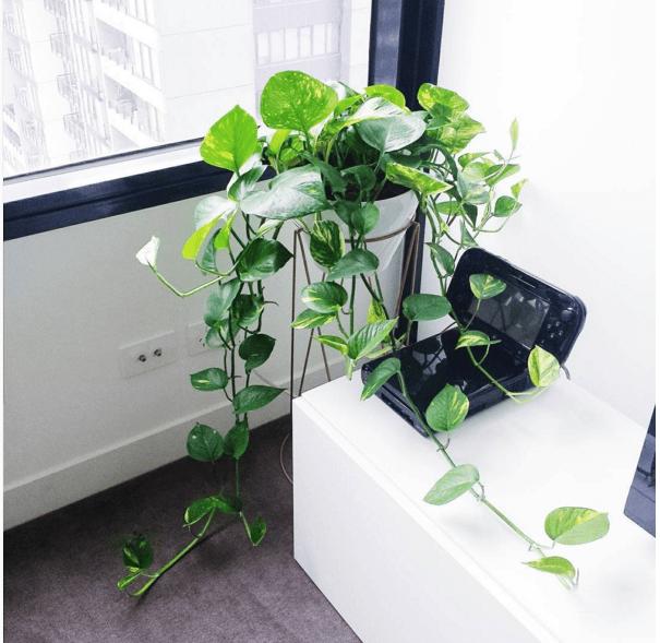 Epipremnum aureum Une autre plante facile à cultiver.Elle sera parfaite dans un panier suspendu. Du printemps à l'été, vous devez la «nourrir» à peu près toutes les deux semaines, puis avec parcimonie en hiver. Cette plante a reçu l'Award of Garden Merit (AGM), qui récompense les plantes d'excellence.