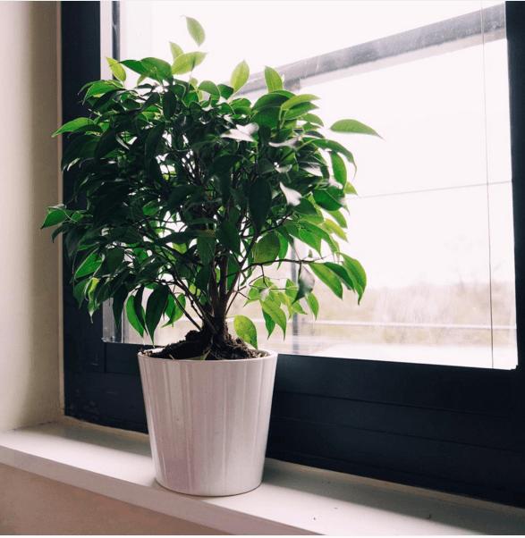 Figuier pleureur Cette plante est l'arbre d'intérieur le plus populaire de la famille des Moracées. C'est une plante qui n'aime pas le changement.Placez-la sous une lumière vive et indirecte et laissez-la là.Elle est connue pour perdre ses feuilles lorsqu'elle est déplacée.