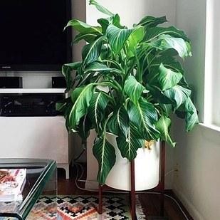 Cannes des muets Avec des feuilles multicolores, c'est une façon amusante d'ajouter de la couleur à votre salon ou votre chambre. Remarque :ingérée en grande quantité, cette plante peut être mortelle. Donc, assurez-vous de la garder loin des animaux ou des enfants curieux